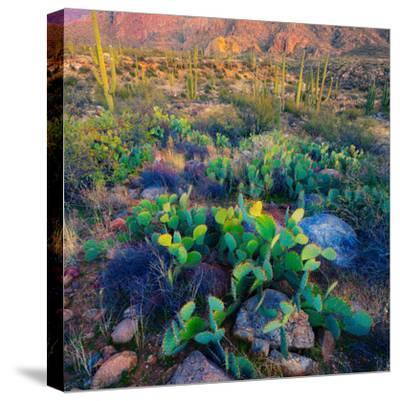 Prickly Pear and Saguaro Cacti, Santa Catalina Mountains, Oro Valley, Arizona, USA