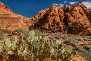Prickly Pear cactus along Water Canyon, St. George, Utah, USA