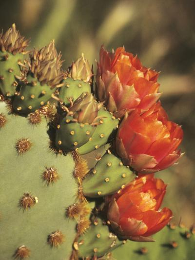 Prickly Pear Cactus in Bloom, Arizona-Sonora Desert Museum, Tucson, Arizona, USA-John & Lisa Merrill-Photographic Print