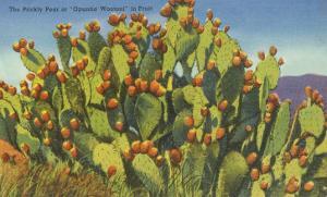 Prickly Pear Cactus in Fruit