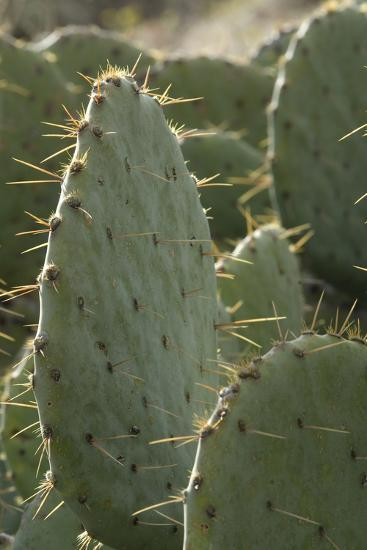 Prickly-Pear Cactus Spines in Southern New Mexico--Photographic Print