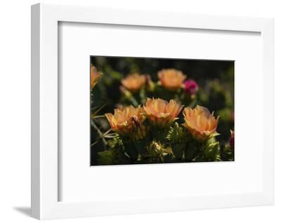 Prickly pear (Opuntia lindheimeri) cactus in bloom.-Larry Ditto-Framed Photographic Print