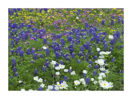 Prickly Poppy, Pointed Phlox and Squaw-weed, Hill Country, Texas-Tim Fitzharris-Art Print