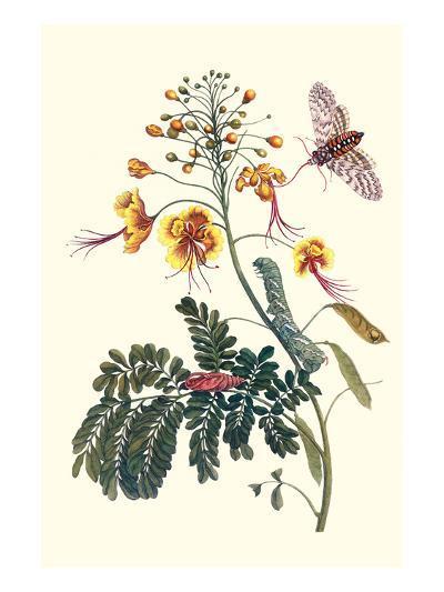 Pride of Barbados with a Tobacco Hornworm-Maria Sibylla Merian-Premium Giclee Print