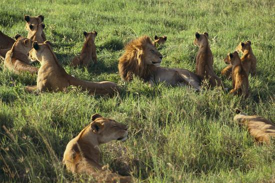 Pride of Lions Lying in Grass-DLILLC-Photographic Print