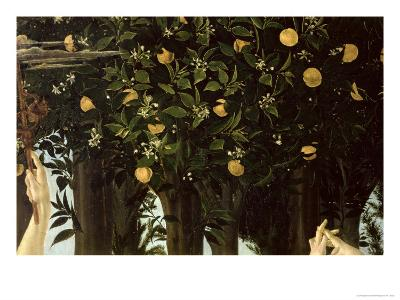 Primavera, Detail of the Orange Tree, c.1478-Sandro Botticelli-Giclee Print