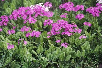 Primrose Flowers (Primula Patens)-Dr. Nick Kurzenko-Photographic Print