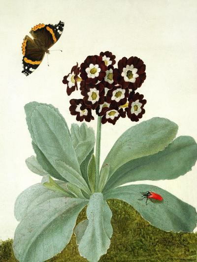 Primula Auricula with Butterfly and Beetle (Gouache over Pencil on Vellum)-Matilda Conyers-Giclee Print