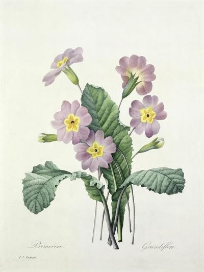 Primula (Primrose), Engraved by Bessin, from 'Choix Des Plus Belles Fleurs', 1827-Pierre-Joseph Redout?-Giclee Print