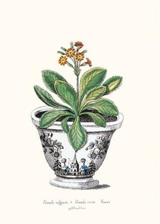 https://imgc.artprintimages.com/img/print/primula-vulgaris-x-primula-veris_u-l-e77h10.jpg?p=0