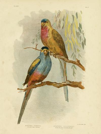 Princess of Wales Parakeet or Princess Parrot, 1891-Gracius Broinowski-Giclee Print