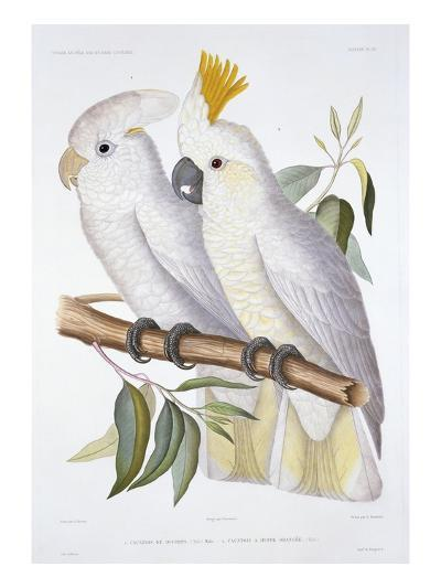 Print of Two Cockatoos by A. Dumenil-Stapleton Collection-Giclee Print