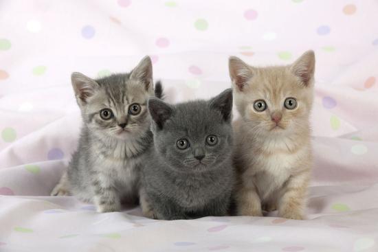 7-week-old-british-shorthair-kittens