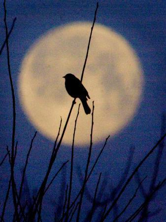 a-bird-is-silhouetted-against-a-full-moon-before-sunrise-friday-morning