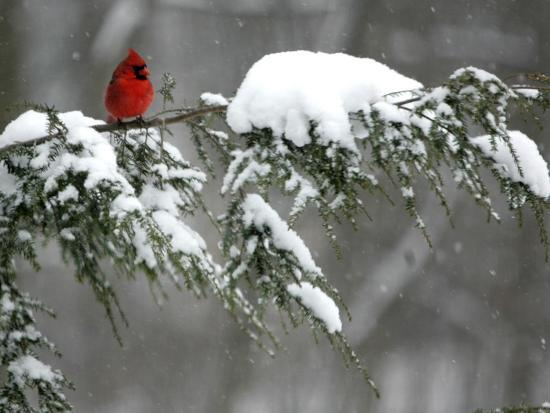 a-cardinal-sits-on-a-snow-covered-branch