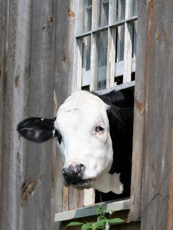 a-cow-peers-out-of-a-barn-window-in-sutton-n-h