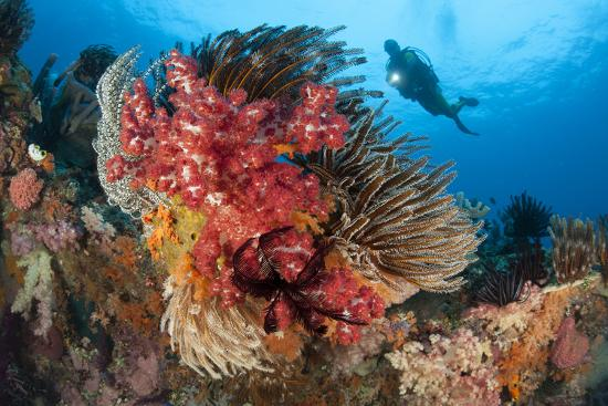 a-diver-approaches-colorful-soft-corals-and-crinoids-on-the-reefs-of-raja-ampat