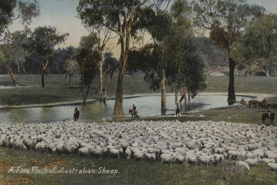 a-fine-flock-of-australian-sheep