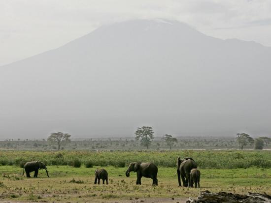 a-herd-of-elephant-graze-with-mount-kilimanjaro