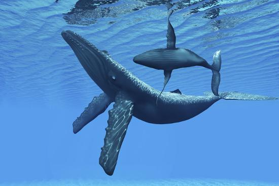 a-humpback-whale-calf-swims-around-its-mother-in-the-ocean