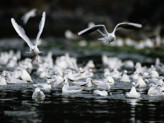 a-large-group-of-black-headed-gulls-fly-away-from-the-water