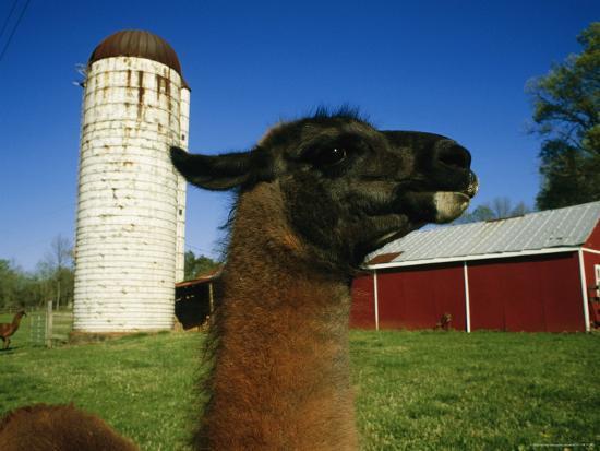 a-llama-on-a-farm-in-virginia