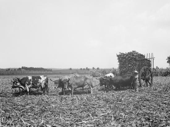 a-load-of-cane-on-a-cuban-sugar-plantation