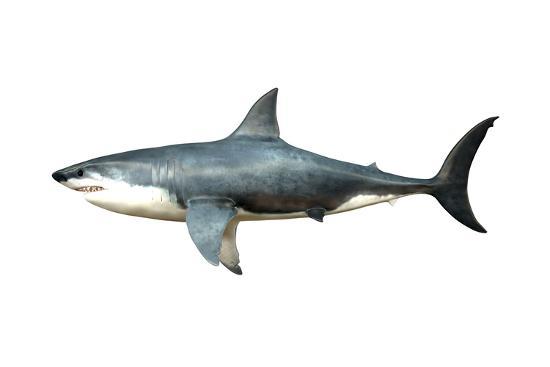 a-megalodon-shark-from-the-cenozoic-era