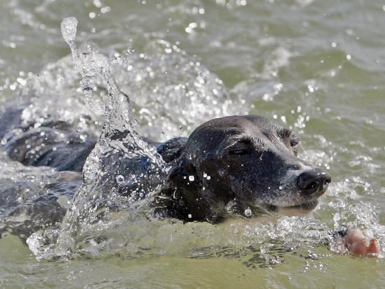 a-mini-italian-greyhound-named-gi