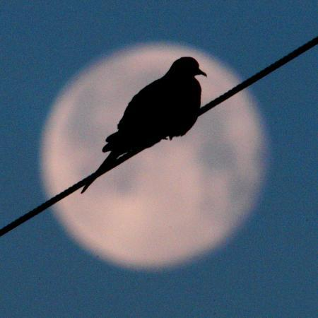 a-mourning-dove-sits-atop-a-utility-wire-as-the-full-moon-sets-over-grand-isle