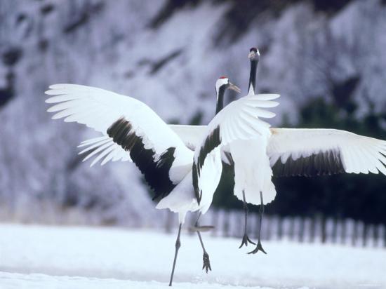 a-pair-of-cranes-hokkaido-japan