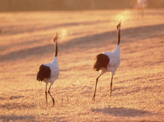 a-pair-of-cranes-tsurui-village-hokkaido-japan