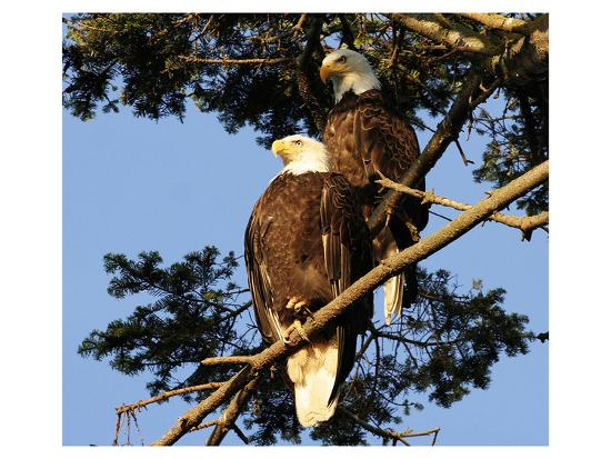 a-pair-of-perching-bald-eagles