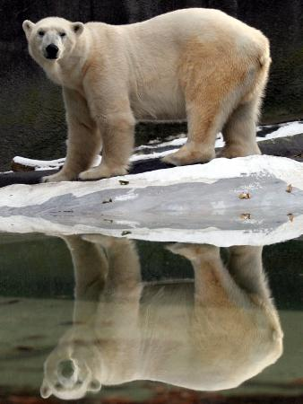 a-polar-bear-stands-at-the-edge-of-a-pool-at-the-bronx-zoo
