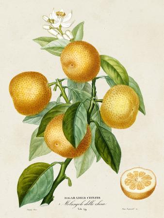 a-risso-french-orange-botanical-iii