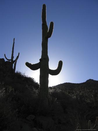 a-saguaro-cactus-backlit-by-the-morning-sun
