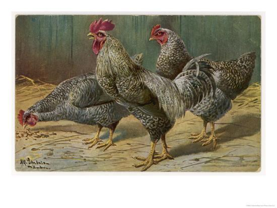 a-schonian-black-speckled-cock-and-hens-probably-silver-laced-wyandottes