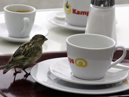 a-sparrow-trips-over-a-tray