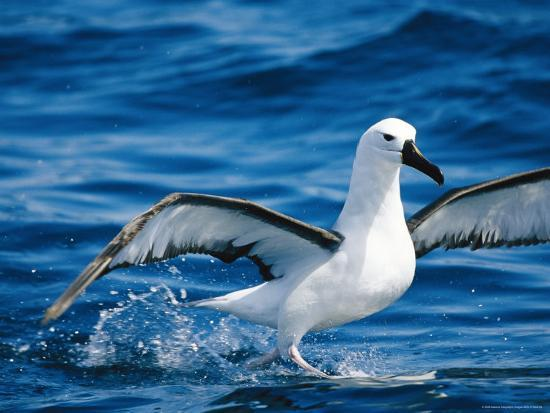 a-yellow-nosed-albatross-takes-flight-from-the-waters-surface