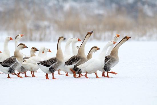 aabeele-domestic-geese-outdoor-in-winter