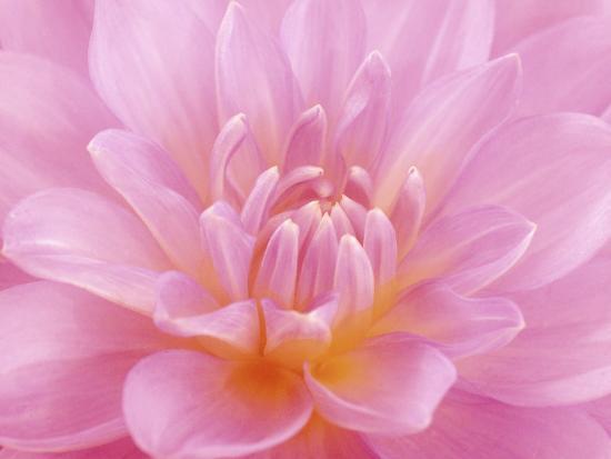 abdul-kadir-audah-still-life-photograph-close-up-of-pink-dahlia