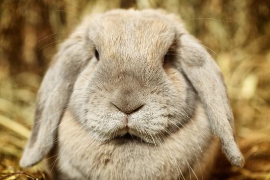 aberration-lop-earred-rabbit