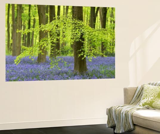 adam-burton-bluebells-and-beech-trees-in-west-woods-wiltshire-england-spring-may