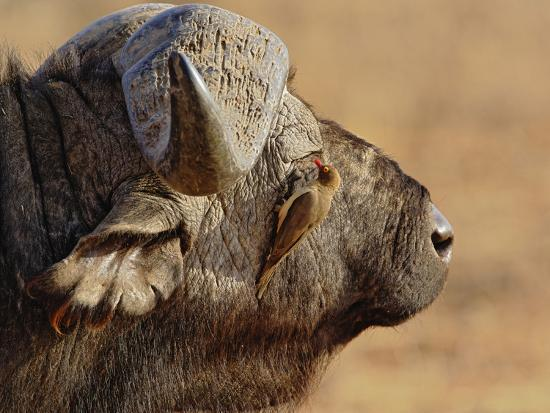 adam-jones-african-buffalo-syncerus-caffer-with-red-billed-oxpecker