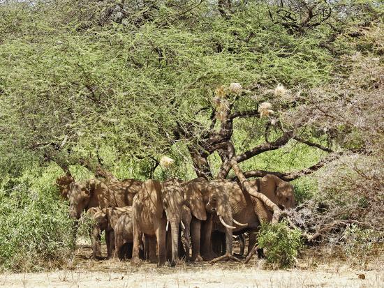 adam-jones-african-bush-elephants-loxodonta-africana-huddled-under-tree-to-avoid-noon-day-sun
