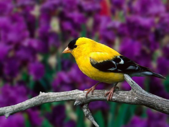 adam-jones-american-goldfinch-in-summer-plumage