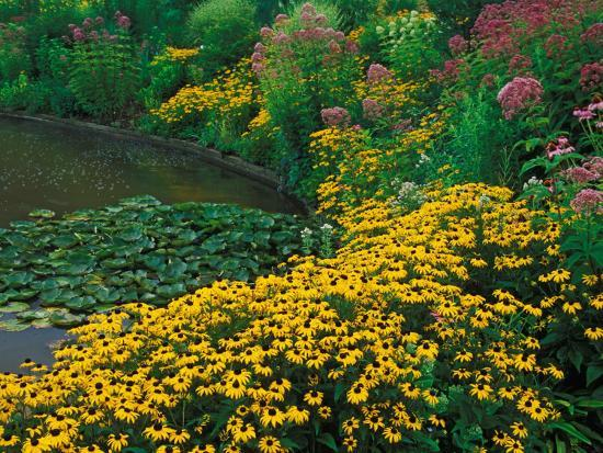 adam-jones-black-eyed-susans-rudbeckia-hirta-and-joe-pye-weed-holden-arboretum-cleveland-ohio-usa