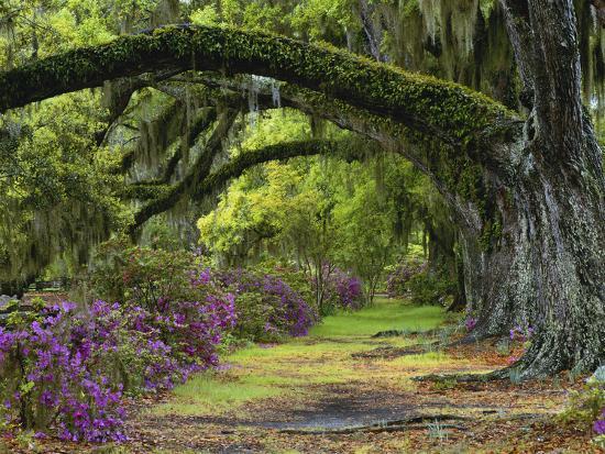 adam-jones-coast-live-oaks-and-azaleas-blossom-magnolia-plantation-charleston-south-carolina-usa