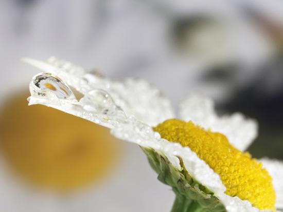 adam-jones-daisy-and-dew-drop-reflection-kentucky-usa