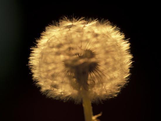 adam-jones-dandelion-seeds